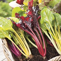 Chard Bright Lights Seeds