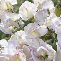 Sweet Pea Hi Scent Seeds