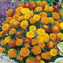 Marigold (French) Boy-O-Boy Mixed Seeds