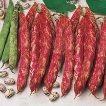 Climbing Bean Borlotto lingua di fuoco 2 Seeds