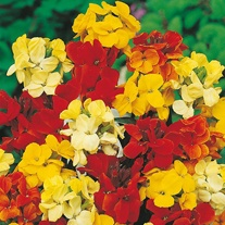 Wallflower Dwarf Bedding Mixed