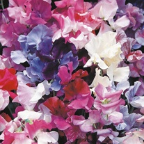 Sweet Pea Horizon Mixed Seeds