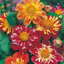 Dahlia Harlequin Mixed Seeds