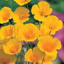 Californian Poppy Golden Values