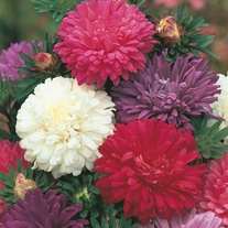 Aster Queen of the Market Mixed