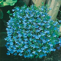 Lobelia Cambridge Blue Seeds