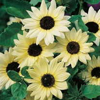 Sunflower Vanilla Ice Seeds