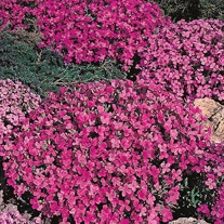 Aubrietia Rich Rose Seeds