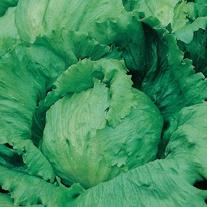 Lettuce Saladin Seeds