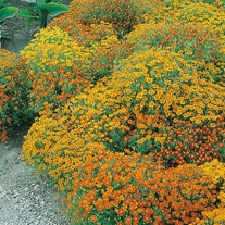 Tagetes Starfire Mixed Seeds