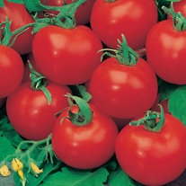 Tomato (Grafted Standard) Shirley Plants