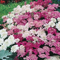 Candytuft Fairy Mixed Seeds
