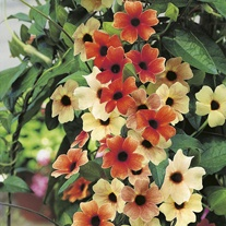 Black-eyed Susan Sunset Shades