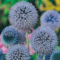Globe Thistle Seeds