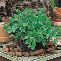 Parsley Plain Leaved 2 Seed Mat