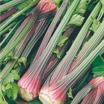 Celery Giant Red Seeds