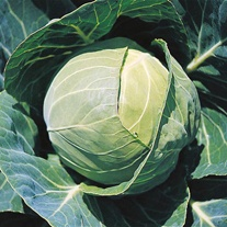 Cabbage Candisa F1 Seeds