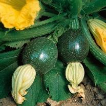 Courgette Tondo di Piacenza Seeds