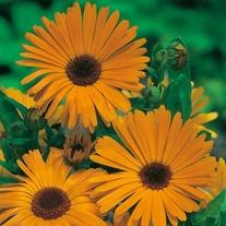 RSPB Calendula Pot Marigold Nova Seeds