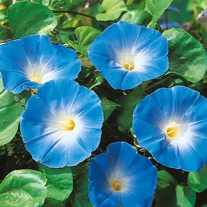Morning Glory Heavenly Blue Seeds