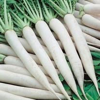 Radish Mooli Mino Early Seeds