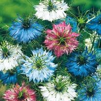 Nigella Persian Jewels Seeds
