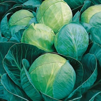Cabbage Minicole F1 Seeds