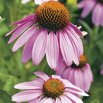 Echinacea Large Flowered Purple Coneflower Seeds