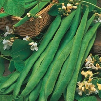 Runner Bean Mergoles Seeds