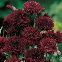 Cornflower Black Ball Seeds