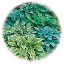 Hosta Mixed Species & Colours Seeds