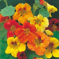 Nasturtium Trailing Mixed Seeds