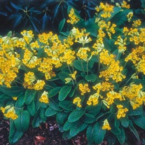 Primula Cowslip Seeds