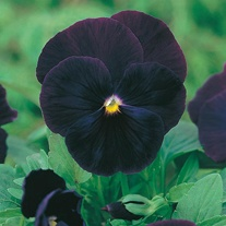 Pansy Blackjack Seeds