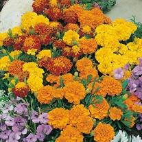 Marigold (French) Bonita Mixed Seeds