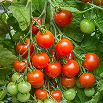 Tomato (Cherry) Gardener's Delight Seeds