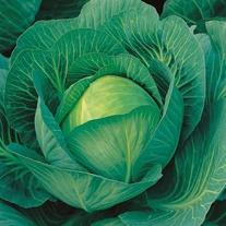 Cabbage Sherwood F1 Seeds