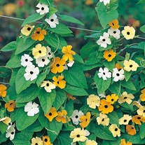Black-eyed Susan Susie Mixed