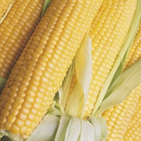 Sweet Corn Sparrow F1 Seeds