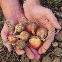 Shallot Ambition F1 Seeds