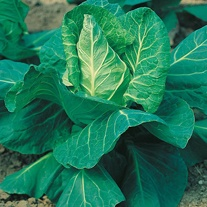 Cabbage Hispi F1 Seeds