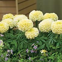 Marigold Vanilla Flower Plants