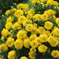 Marigold (French) Yellow Jacket Seeds