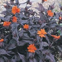 Lychnis Vesuvius Seeds