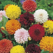 Dahlia Showpiece Seeds