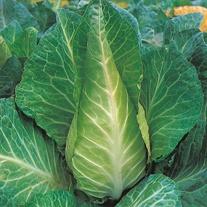 Cabbage Filderkraut Seeds