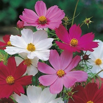 Cosmos Sensation Mixed Seeds