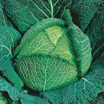 Cabbage Resolution F1 Seeds