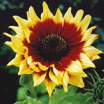 Sunflower Magic Roundabout F1 Seeds
