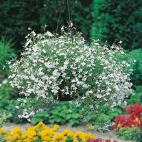 Lobelia White Fountain Seeds